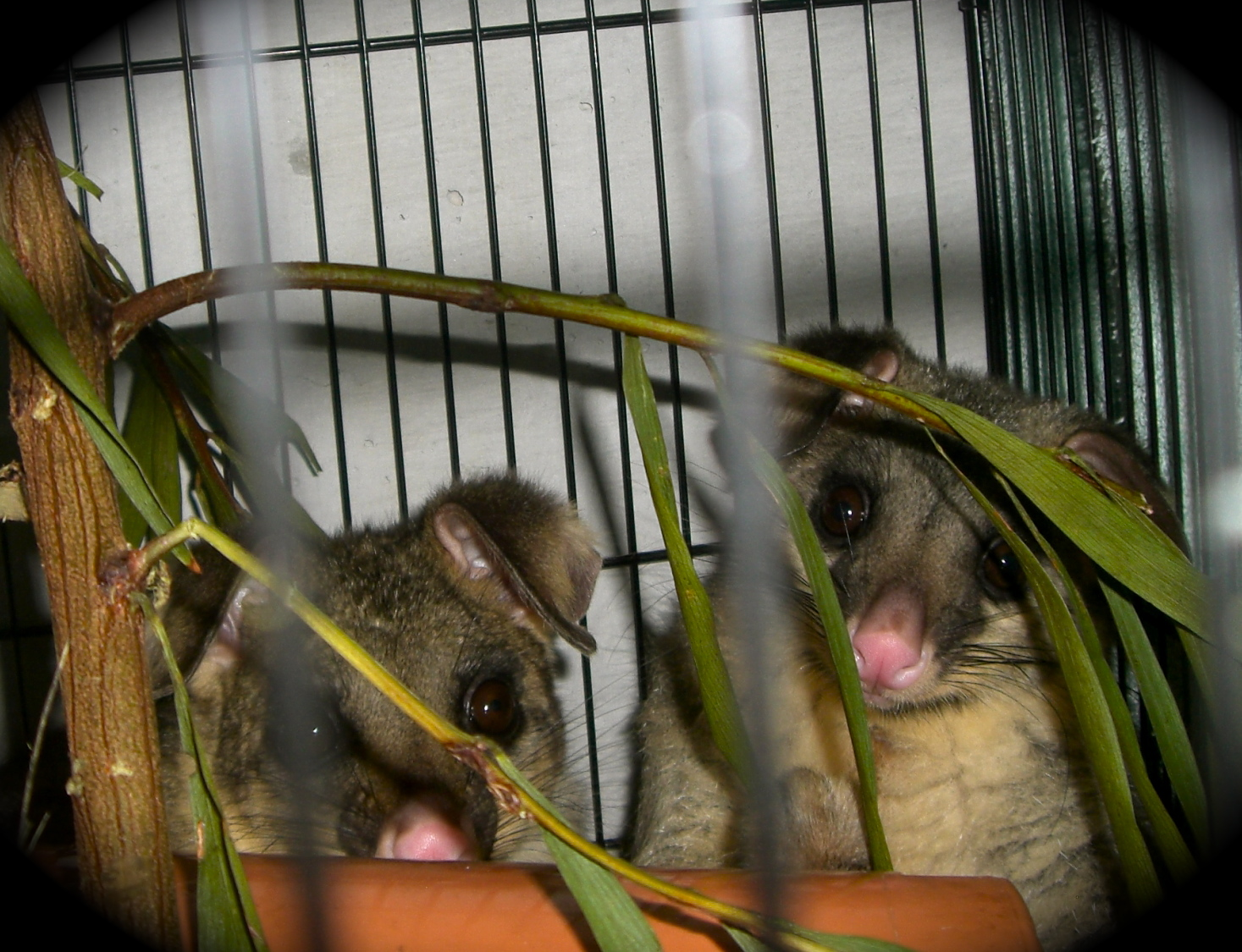 WIRES - Fatso & Fuzzy's Brushtail Possum Rescue